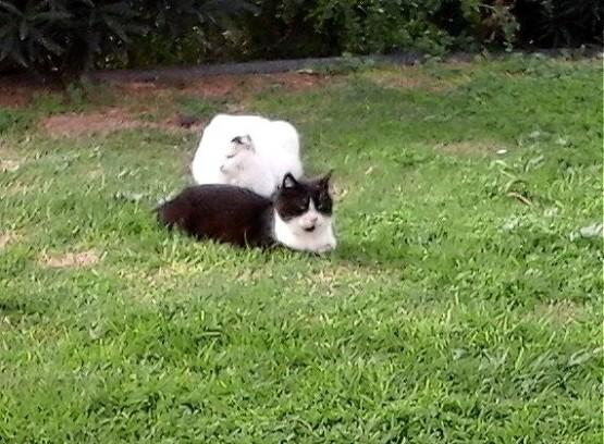 Cyprus Cats - Paphos 2015 (1)