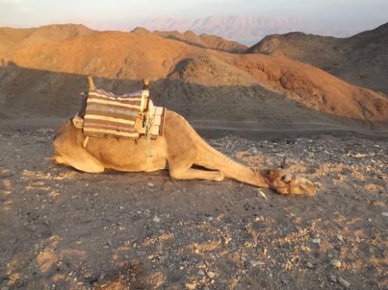camel ranch - camel takes a rest