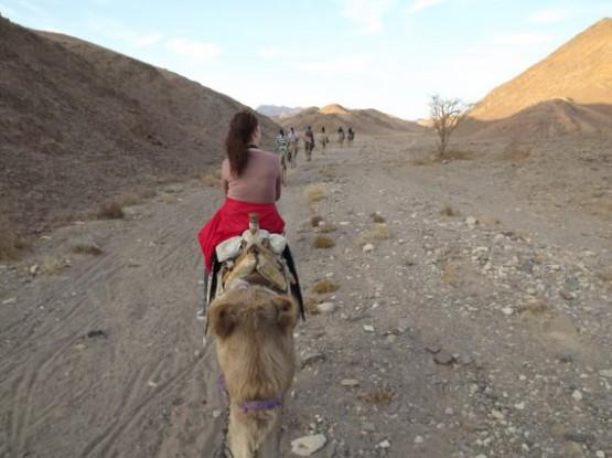 camel ranch - caravan going to the desert