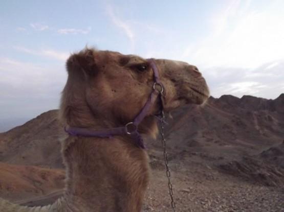 camel ranch - shailo camel